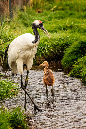 Mom and Chick - Copyright 2017 Steve Leimberg - UnSeenImages Com _Z2A2804