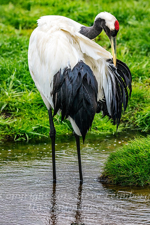 Red Crowned Crane - Copyright 2017 Steve Leimberg - UnSeenImages Com _Z2A2964