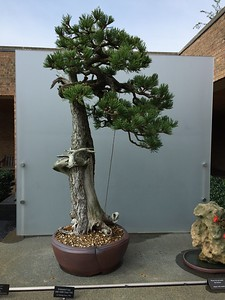600 - 1,000 years old. Colorado Spruce tree.