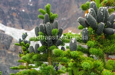 Pine and Angel Glacier