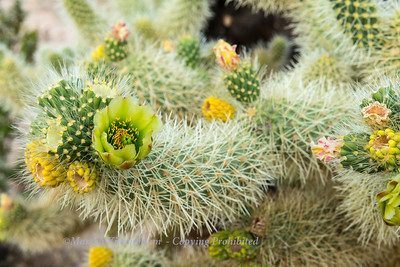 Cholla Cactus Blossom