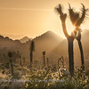Sunset - Joshua Tree NP