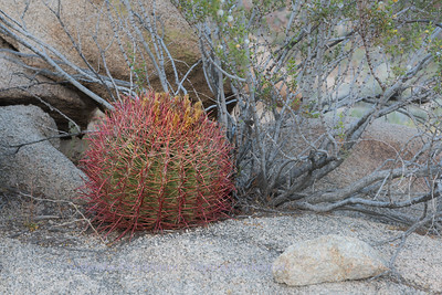 Barrel Cactus - Joshua Tree NP