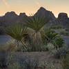 Yuccas at Joshua Tree NP