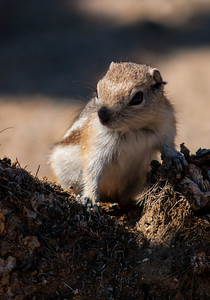 Antelope squirrel checking out the tourists