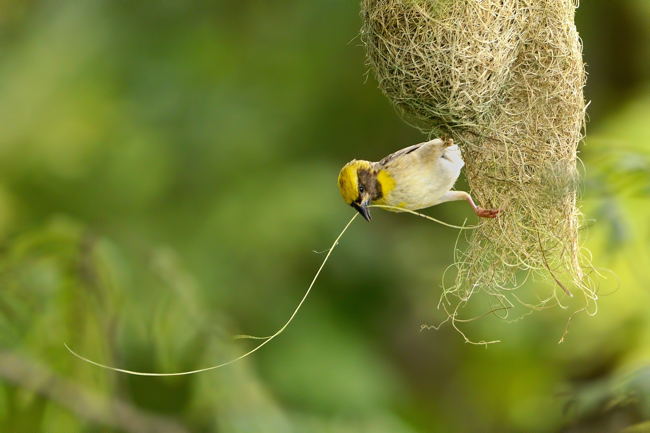 Baya weaver with nesting material, ready to weave his magic