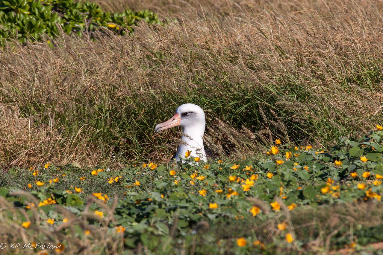 Laysan albatross (Phoebastria immutabilis) on a nest.