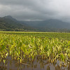 Taro field on the island of Kauai, Hawaii.