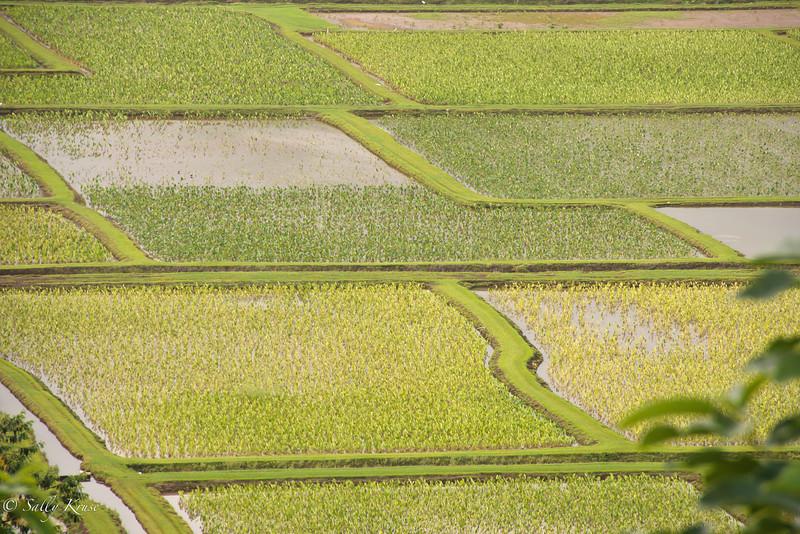 Patchwork shapes of a taro field on the island of Kauai, Hawaii.