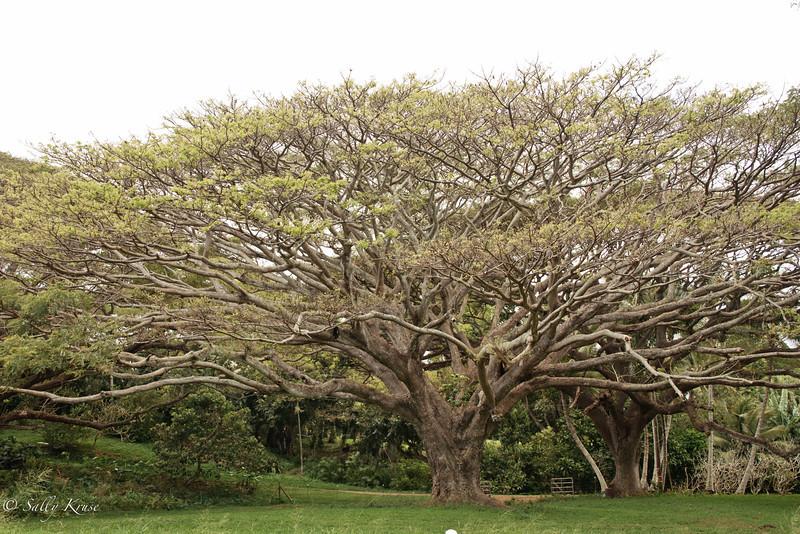 Trees on the island of Kauai, Hawaii.