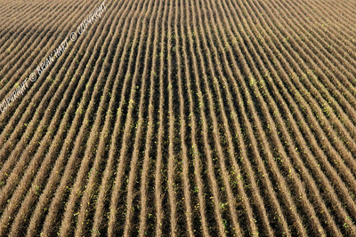 IMG_7516 Rows of Crops