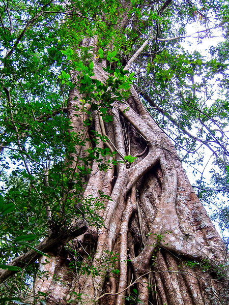 Kerala Banyan Tree