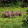 Wild Indian Elephants