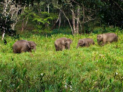 Grazsing Elephants