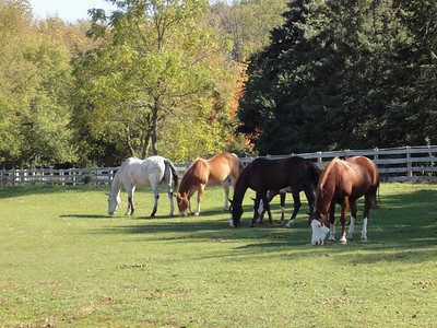 Grazing mid-day in one of the large paddocks. Left to right...  Skipper, Willy, Tony, Jackson and Picaso.