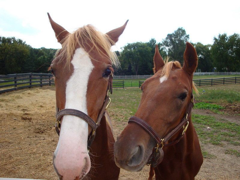 Young colt and filly (each one year) who were very interested in playing (maybe, being let out of the paddock!). http://www.knollwoodfarmltd.com