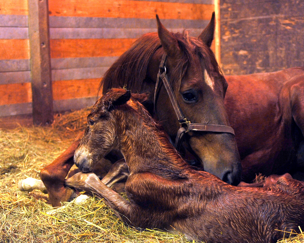 Andie and her new foal, Beckett. About 15 minutes after birthing. 29-April-2010. Photo courtesy of Jeff Nickey.