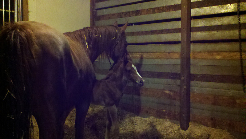 Felix with his mom, A Little Commotion (Andie). 12 hours after foaling. His father is Arrowhead's Once In a Lifetime.