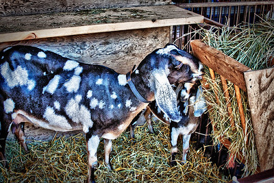 Goats at the Knox County Fair 2011 in Mount Vernon, Ohio.