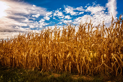 Cornfield on New Gambier Road in Knox County, Ohio on September 26, 2015. Photo by Joe Frazee