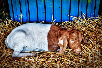 Goat at the Knox County Fair 2011 in Mount Vernon, Ohio.