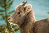 Cute young Bighorn Sheep
