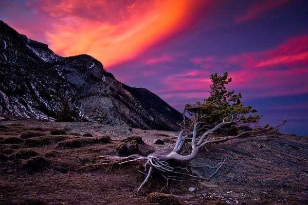 A lone pine tree on a windy slope, against an incredible sunset.<br /> <br /> Windy Point, Abraham Lake, Alberta.
