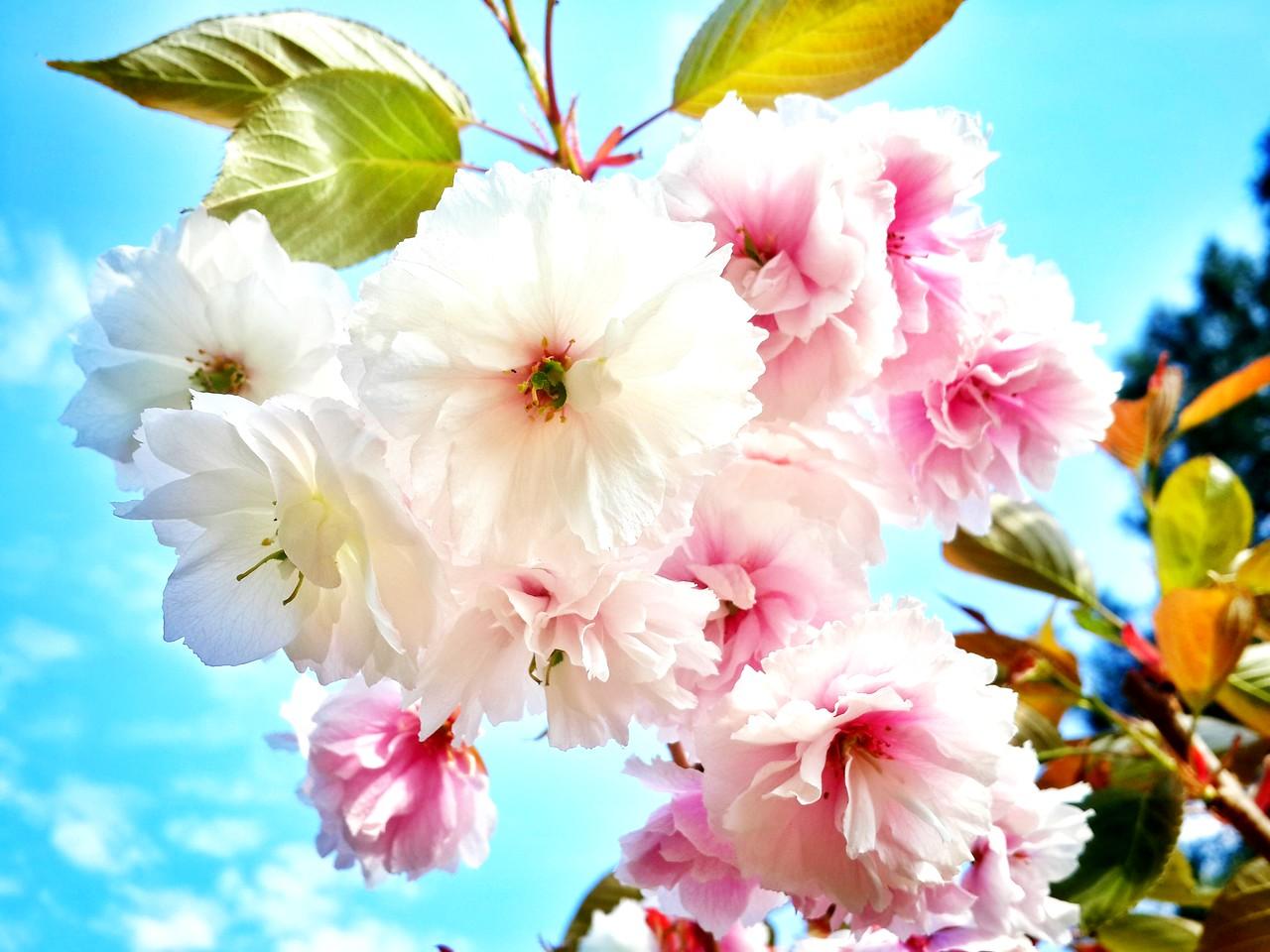 Sakura again