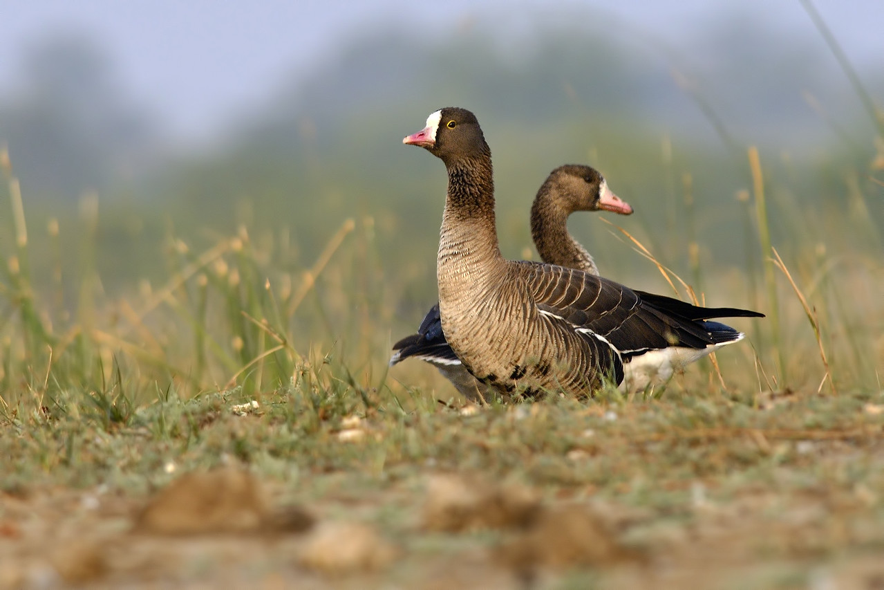 Lesser and the Greater white fronted Geese