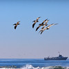 Pelican Patrol: A group of brown pelicans patrol the surf while flying in tight formation.