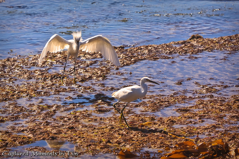 Egrets in the Surf
