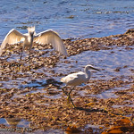Egrets in the Surf: A female snowy egret is approached by an male in full display.  Despite the show of feathers, she's just not interested.