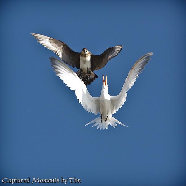 Jaeger Pursuing a Tern