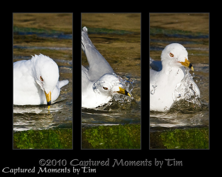 Cleanlines is next to Birdliness: A Ring-billed gull (Larus delawarensis) takes a moment to bathe in a pool of water at La Jolla Shores.