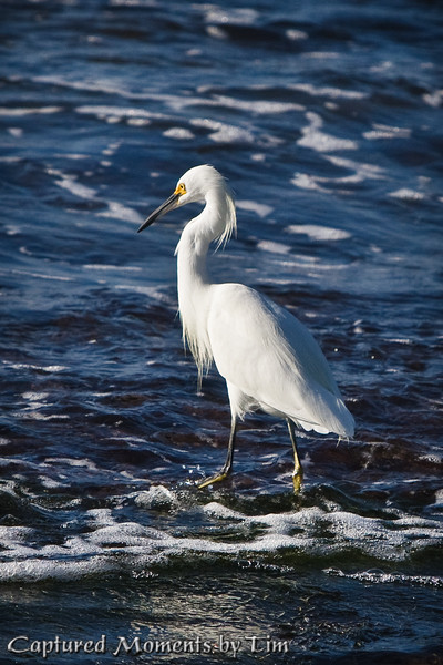 Egret in the Surf