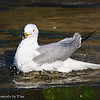 Bathing Ring-Billed Gull