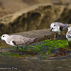 Snacking Sanderlings: A group of sanderlings forage amongst the patches of algae growing on the sandstone cliffs and tide pools at South Casa Beach in La Jolla, CA.