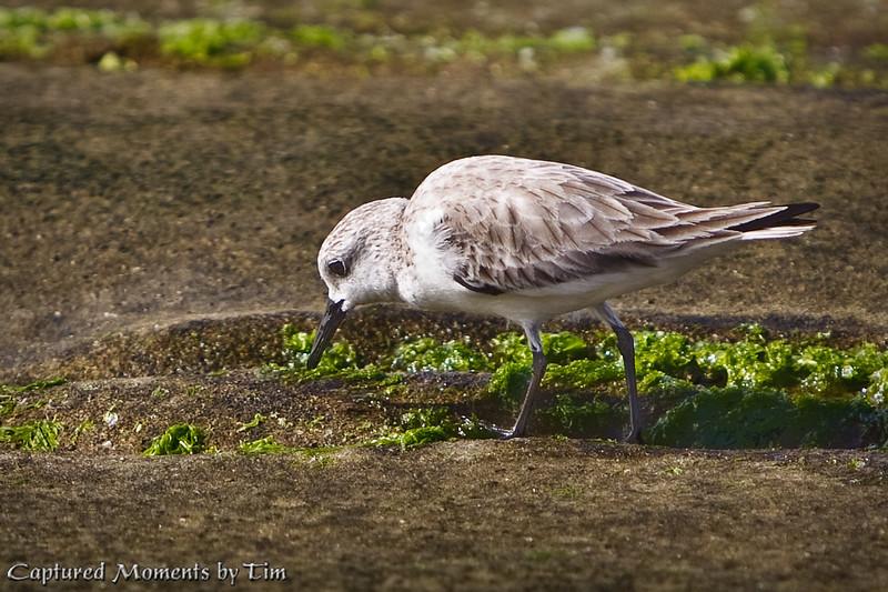 Snacking Sanderling