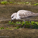 Snacking Sanderling: A sanderling forages amongst the patches of algae growing on the sandstone cliffs and tide pools at South Casa Beach in La Jolla, CA.