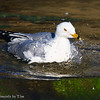 Bathing Ring-Billed Gull