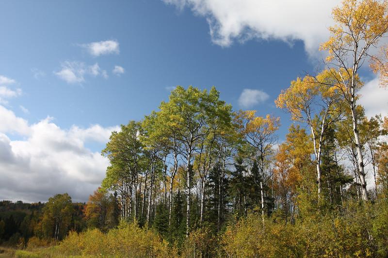 Arrowhead Trail Birches