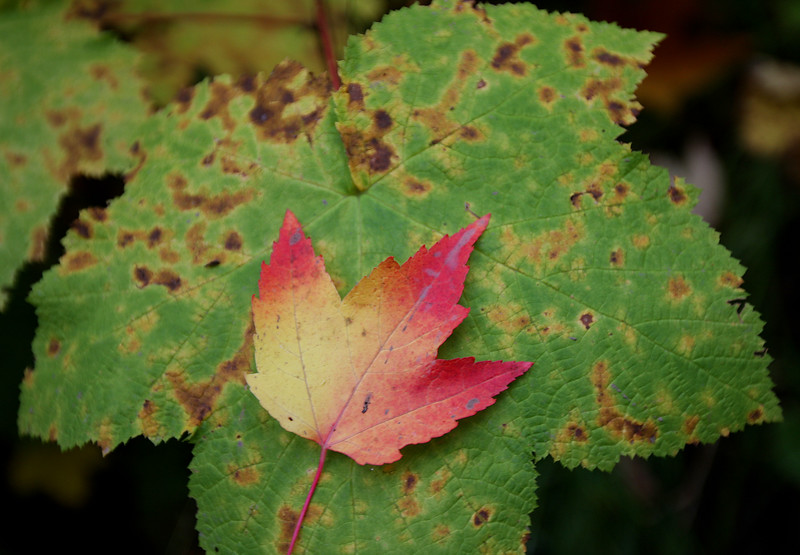 Maple and Thimbleberry