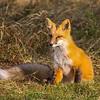Red Fox, Hat Point