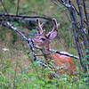Buck in velvet, Hwy 61 near Tofte