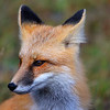 Red Fox, Hat Point