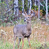 Whitetail buck near Silver Bay