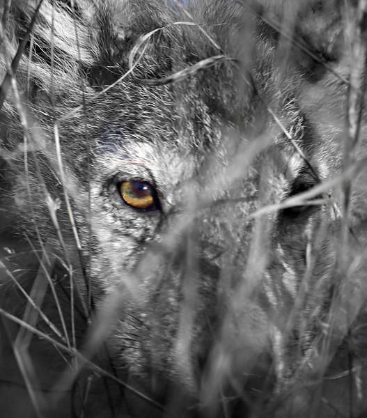 Wolf pup, Rengo Road
