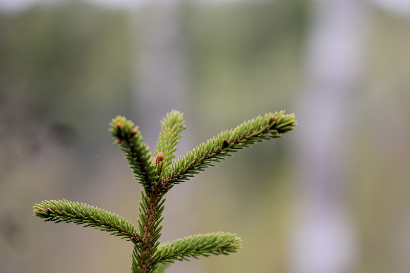 Pine Close-up