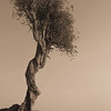 Spirit Tree Sepia