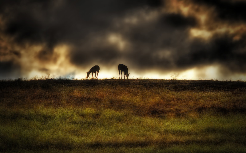 Horses in the evening